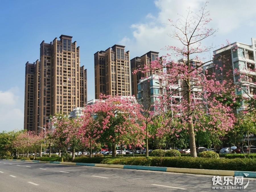 贵港这条路美爆了!美丽异木棉、赤苞花盛大开放!